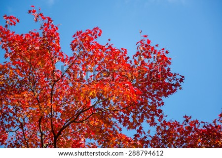 red maple tree with clear blue sky - stock photo
