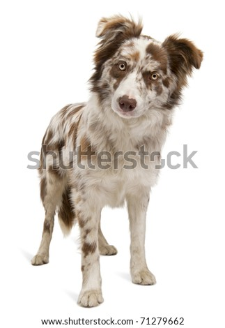 Red Merle Border Collie, 6 months old, in front of white background - stock photo