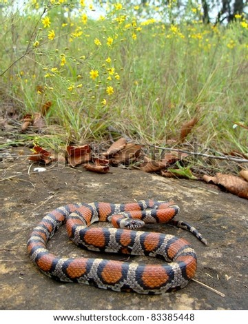 Red Milk Snake, Lampropeltis triangulum syspila in prairie habitat - stock photo
