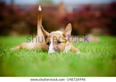 red miniature bull terrier puppy outdoors - stock photo