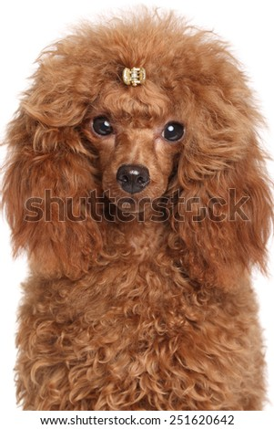 Red Miniature poodle puppy. Portrait on isolated white background - stock photo