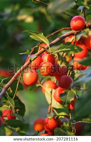 Red mirabelle plums on the tree