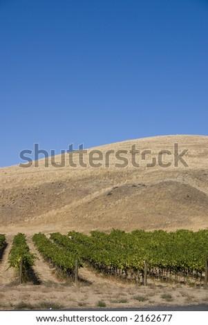 Red Mountain vineyard - stock photo