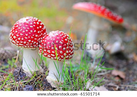 Red mushroom (Amanita Muscaria also known as Fly Ageric or Fly Amanita) in autumn forest - stock photo
