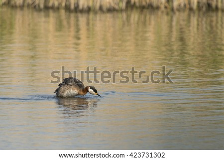 Red-necked Grebe (Podiceps grisegena) brush up the feathers after taking a bath - stock photo