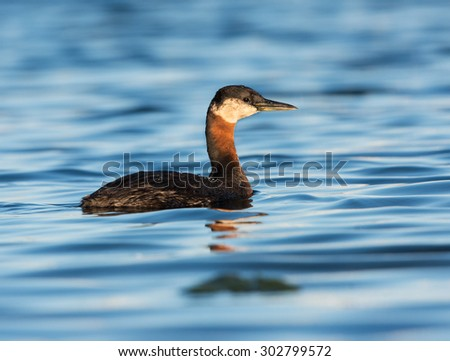 Red Necked Grebe Swimming in Early Morning