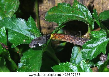 Red-necked keelback snake - stock photo