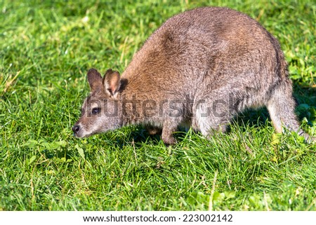 Red-necked wallaby (Bennets kangaroo) sniffing grass - stock photo