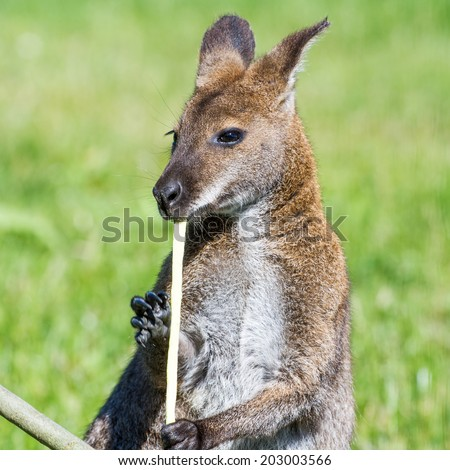 Red-necked wallaby (kangaroo) eating straw - stock photo