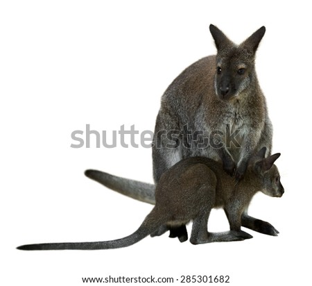 Red-necked wallaby with baby. Isolated on white background - stock photo
