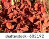 Red nettles in autumn - stock photo