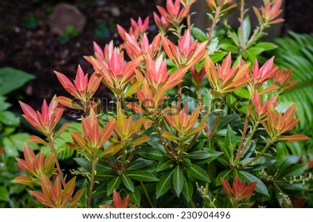 Red newly flushed leaves of a Pieris japonica bush - stock photo