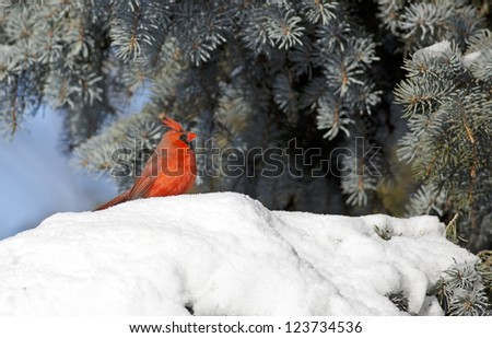 Red Northern Cardinal in the snow - stock photo