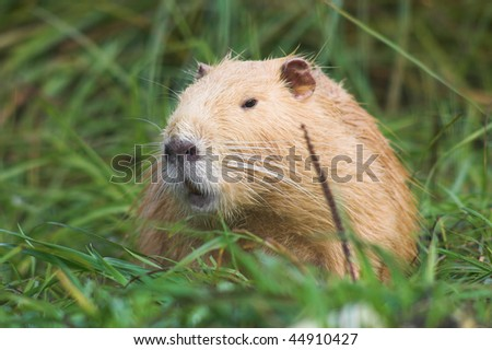 Red nutria in the grass