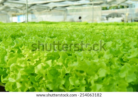 Red oak, green oak, frillice iceberg , cultivation hydroponic green vegetable in farm plant market - stock photo