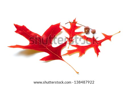 Red oak leaves and acorns on white background - stock photo
