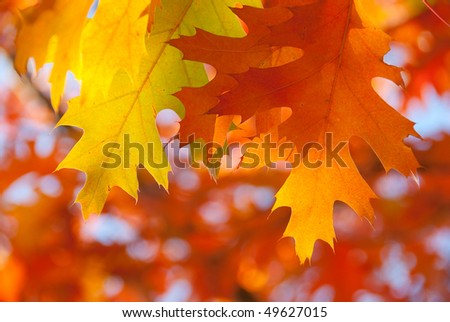 Red oak leaves close-up. Beautiful nature background - stock photo