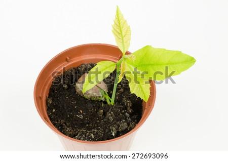 red oak seedling - stock photo