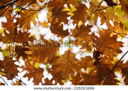 Red oak tree (Quercus rubra) - leaves with natural background - stock photo