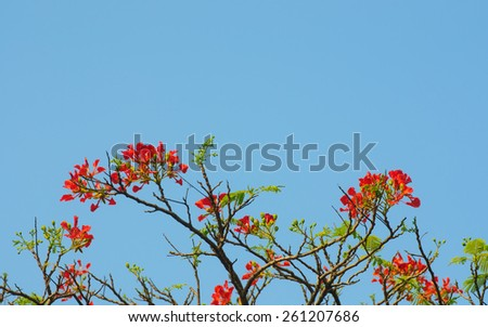 red of Peacock Flower or the flame tree  on blue sky - stock photo