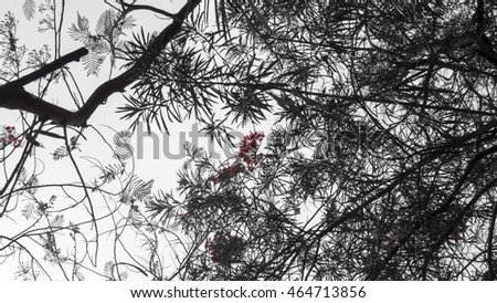 red oleander blooms from under the tree desaturated to emphasize the red colour and render the rest black and white