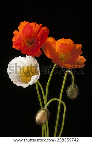 Red, orange and white poppy flowers with buds on black background - stock photo