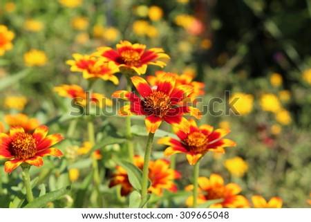 Red orange yellow mexican zinnia flowers stock photo royalty free red orange and yellow mexican zinnia flowers in munich germany its mightylinksfo