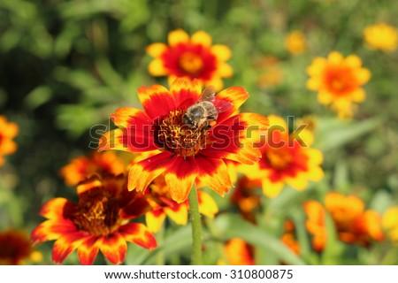 Red orange yellow mexican zinnia flowers fotka 310800875 shutterstock red orange and yellow mexican zinnia flowers in munich germany its mightylinksfo