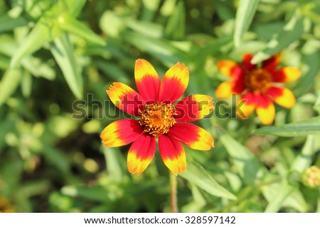 "Red, orange and yellow ""Mexican Zinnia"" flowers in Munich, Germany. Its scientific name is Zinnia Haageana Persian Carpet (syn. Zinnia Mexicana), native to Mexico and South America. - stock photo"