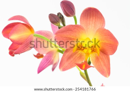 Red orange ground orchids or Spathoglottis Plicata orchids over white background - stock photo