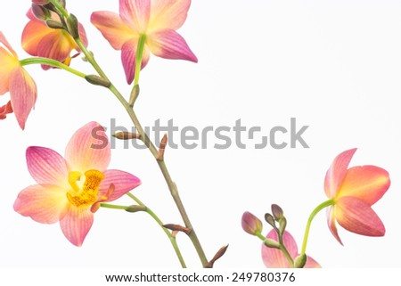 Red orange Philippine ground orchids and buds close up - stock photo