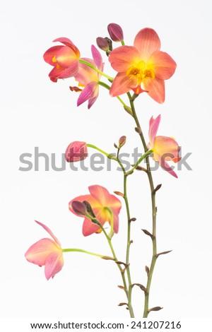 Red orange Philippine ground orchids over white background - stock photo