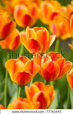 Red Orange Yellow Tulips flower shot from below close up with tulip background pattern - stock photo