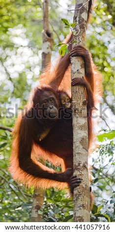 Red orangutan  in Tanjung Puting national park: mother and son clinging to a tree  - stock photo