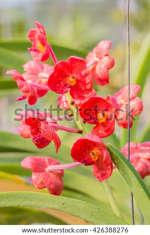 Red orchid, Ascocentrum orchids blooming in farm, in soft color and soft blurred style, with water droplet and green leaves blurred background, in Thailand. - stock photo