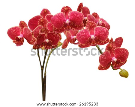 red orchid branch - stock photo