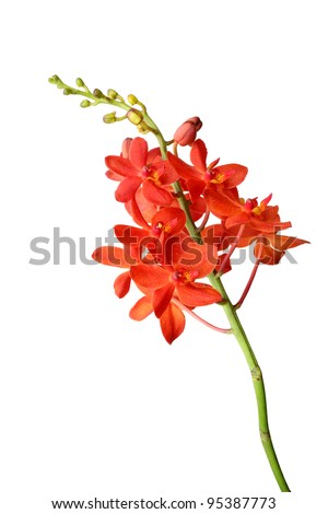 red orchid isolated on a white background - stock photo