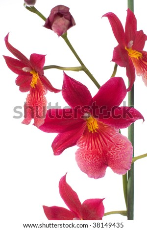 red orchid on white background - stock photo
