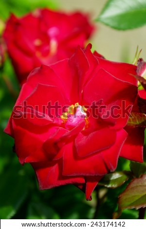Red ornamental garden roses in sunlight. - stock photo