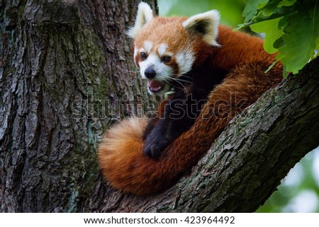 Red Panda (Ailurus fulgens) her cuteness tree - stock photo