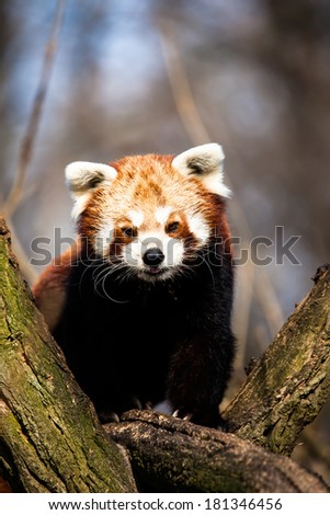 Red Panda (Ailurus fulgens) sitting in a tree at a zoo.  - stock photo