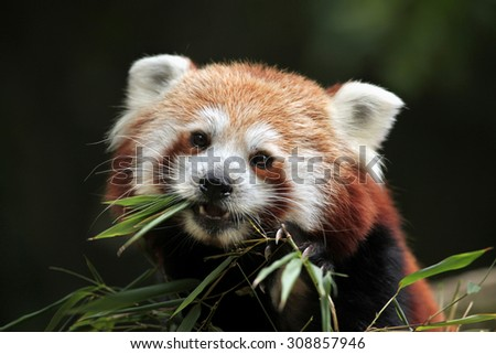 Red panda (Ailurus fulgens). Wild life animal.  - stock photo