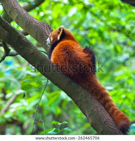 Red panda bear resting in tree - stock photo