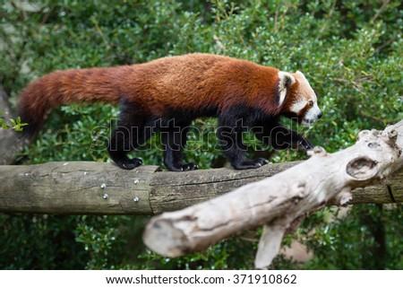 Red panda bear walking on the tree branch - stock photo