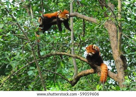 Red panda bears in tree - stock photo