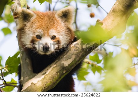 Red panda climbing in a tree and looking curious - stock photo