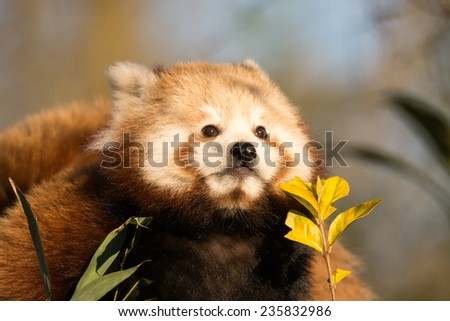 red panda cub isolated