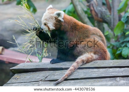 Red Panda eats - stock photo
