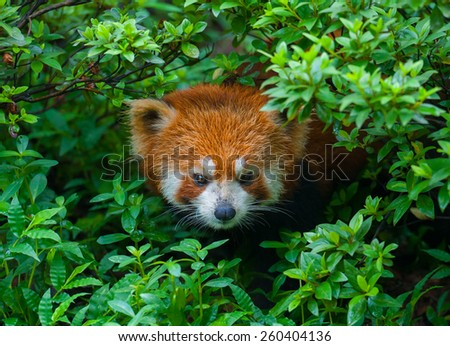 Red panda hiding - stock photo