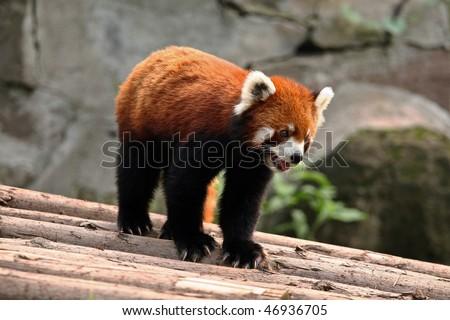 Red panda in alert pose - stock photo